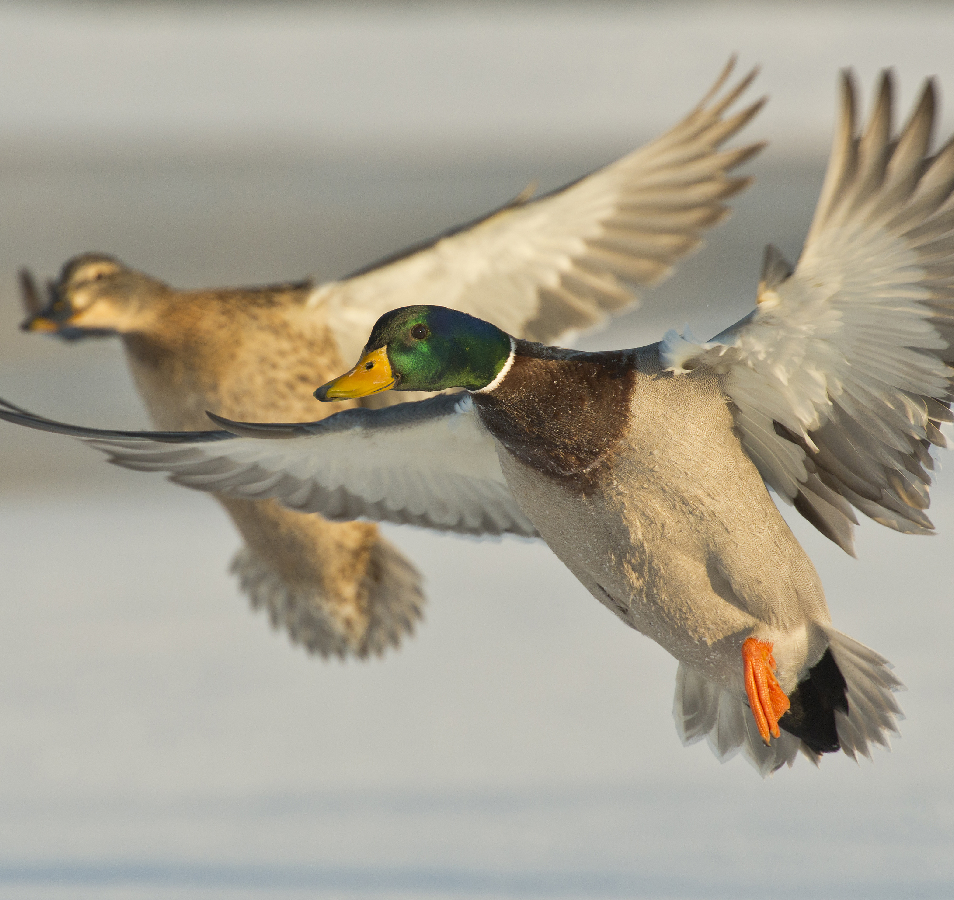 North Texas Duck Hunting Guides | Duck Hunting Texas